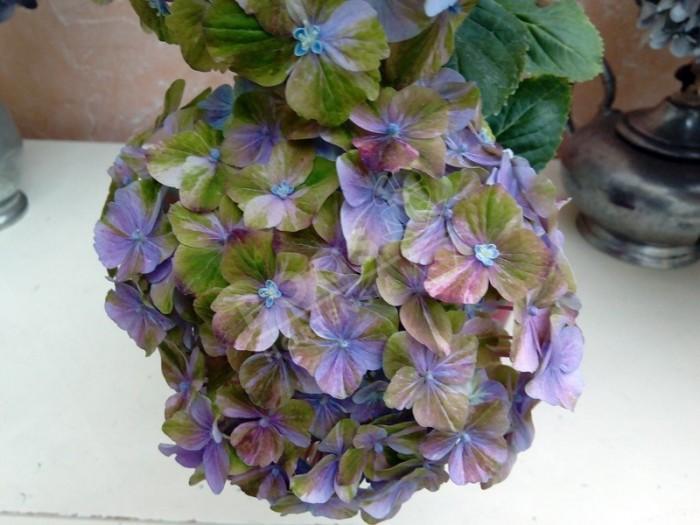 Hortensia Valvert en bleu