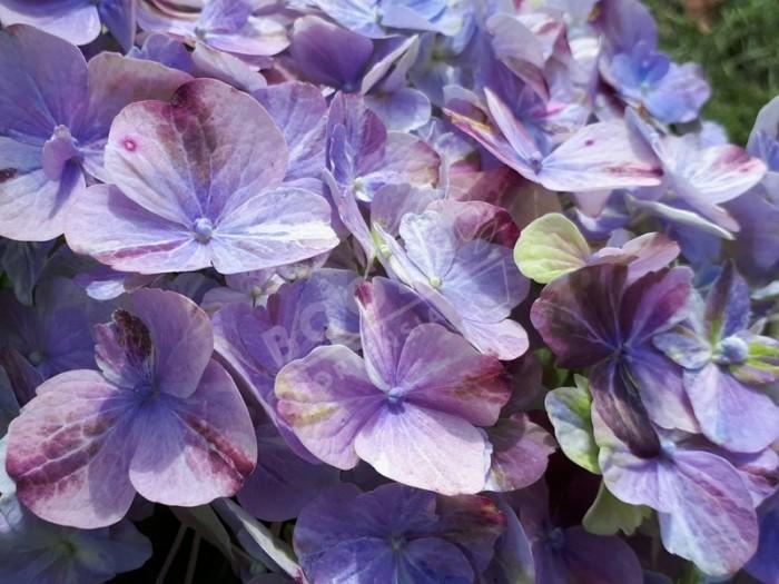 Hortensia Valvert en bleu fin de floraison