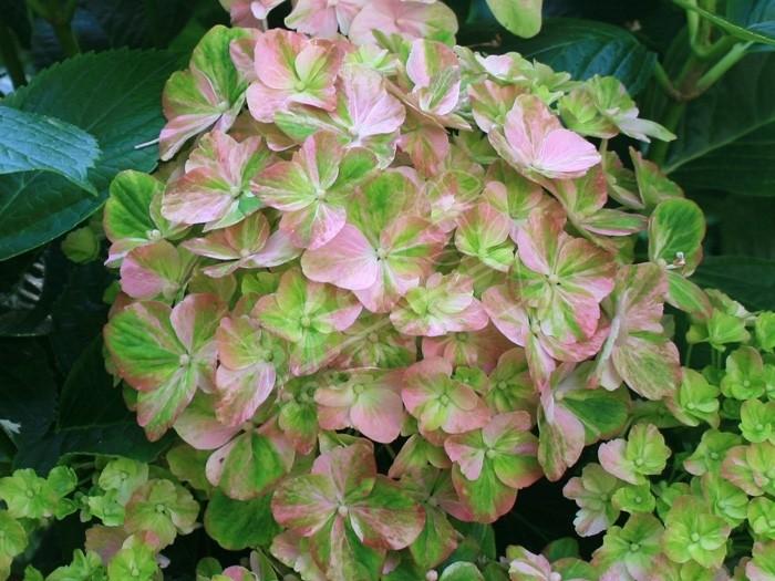Hortensia Valvert fleurs