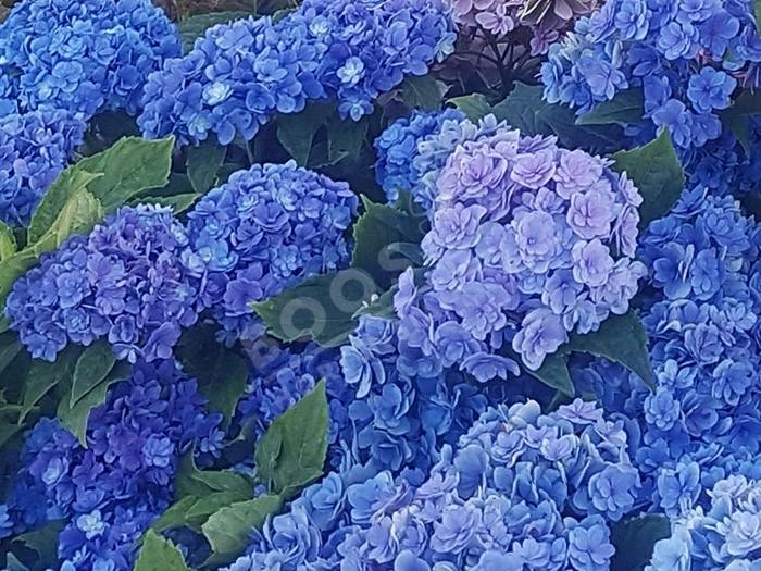 HORTENSIA You&Me® 'Together' en bleu