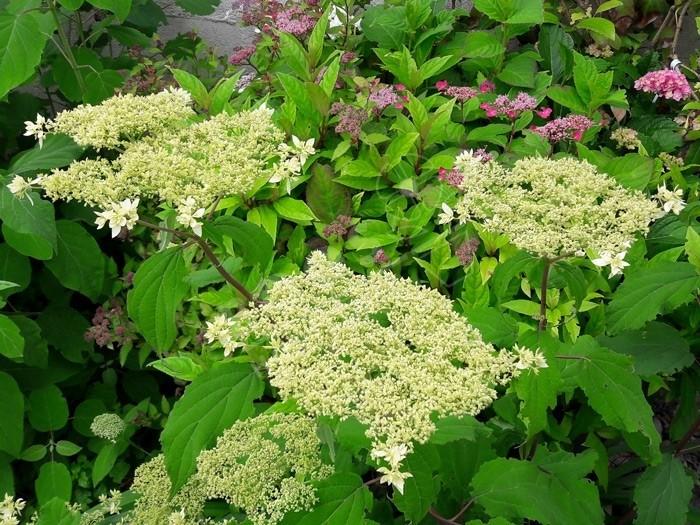 début de floraison Hortensia Hayes Starburst