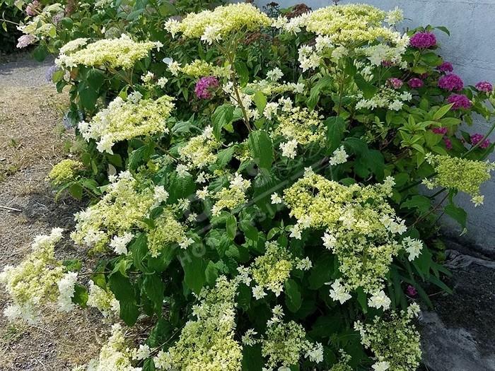 floraison Hortensia Hayes Starburst
