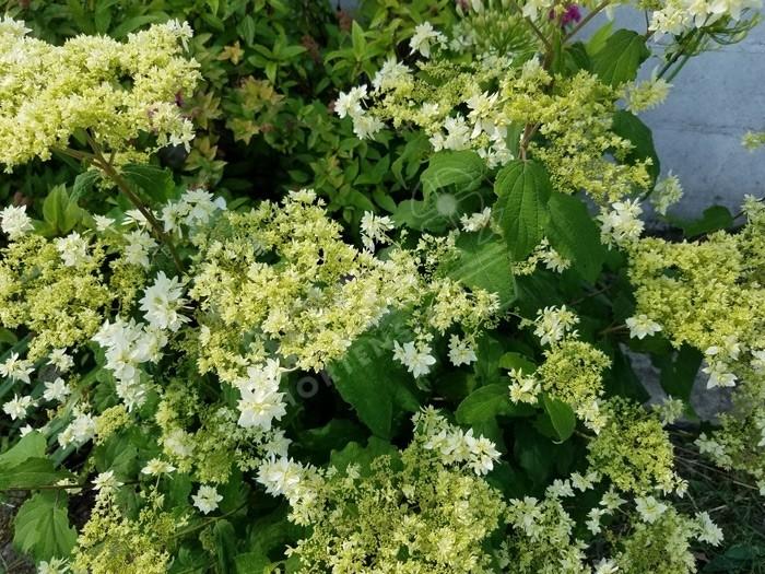 floraison Hortensia Hydrangea arborescens Hayes Starburst