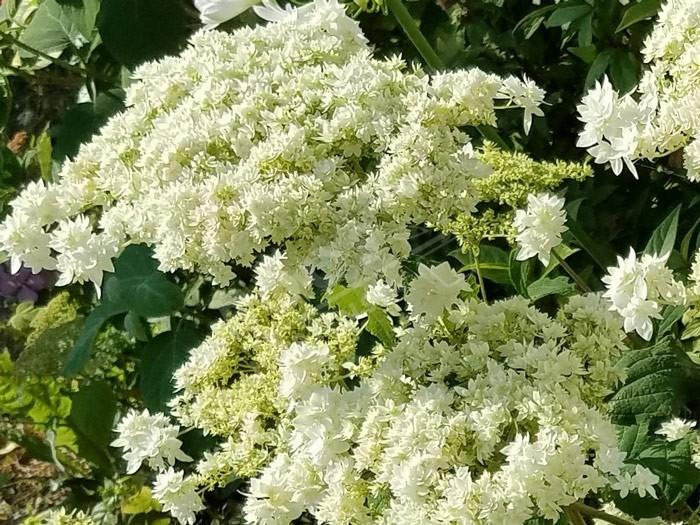 pleine floraison Hortensia Hayes Starburst