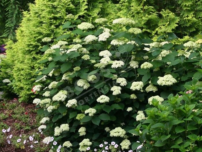 HYDRANGEA arborescens Lime Rickey ® 'SMNHALR'