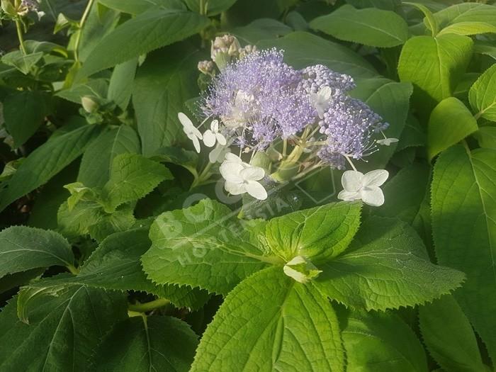 HYDRANGEA involucrata 'Late Love' en fleurs