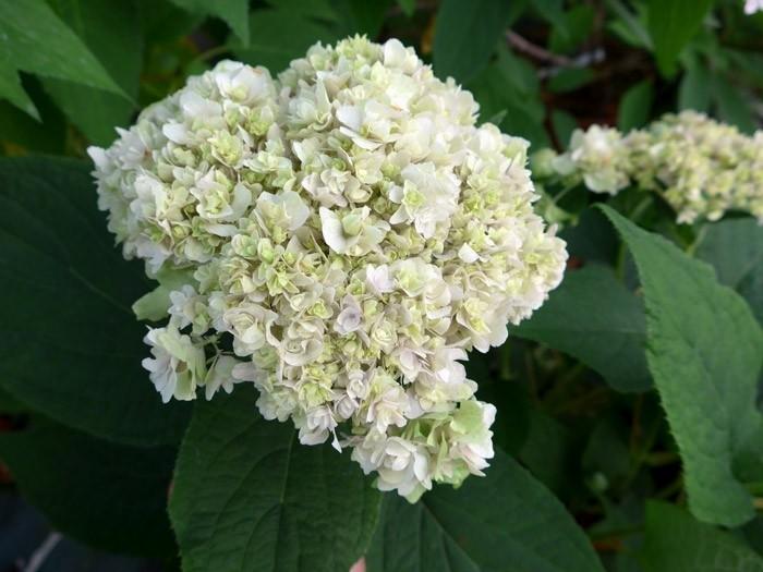 HYDRANGEA involucrata 'Yokudanka' début floraison