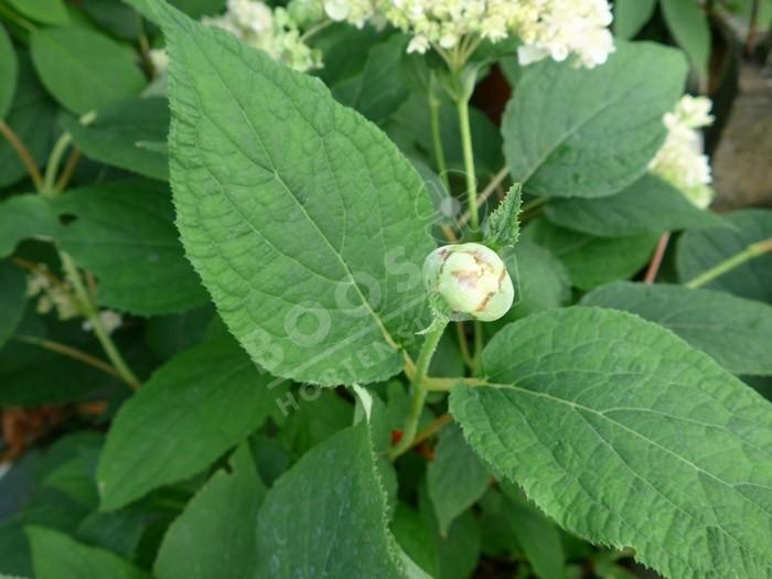 bouton floral HYDRANGEA involucrata 'Yokudanka'