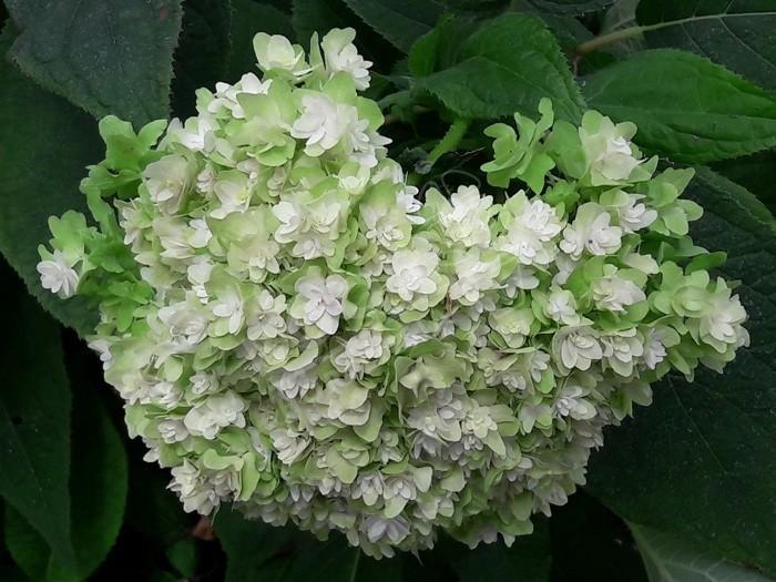 fleur HYDRANGEA involucrata 'Yokudanka'