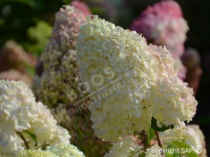 HYDRANGEA paniculata Diamantino®