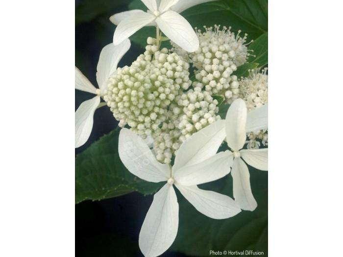 HYDRANGEA paniculata Great Star ® 'Le Vasterival'