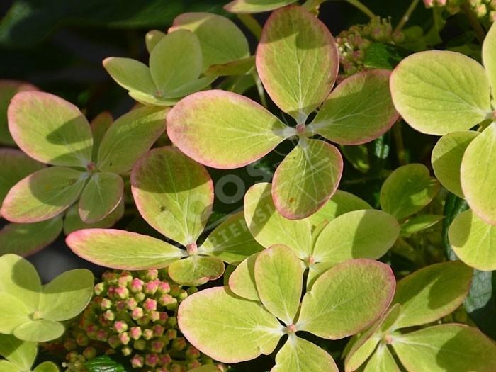 HYDRANGEA paniculata Pastel Green ®