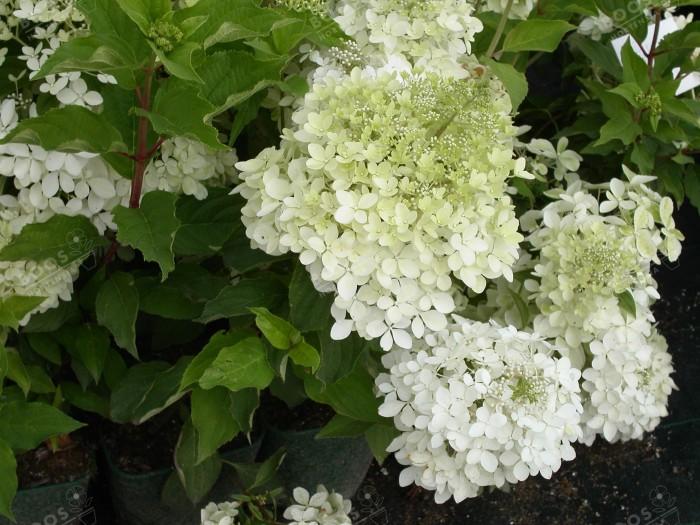 fleurs de hydrangea paniculata phantom début floraison