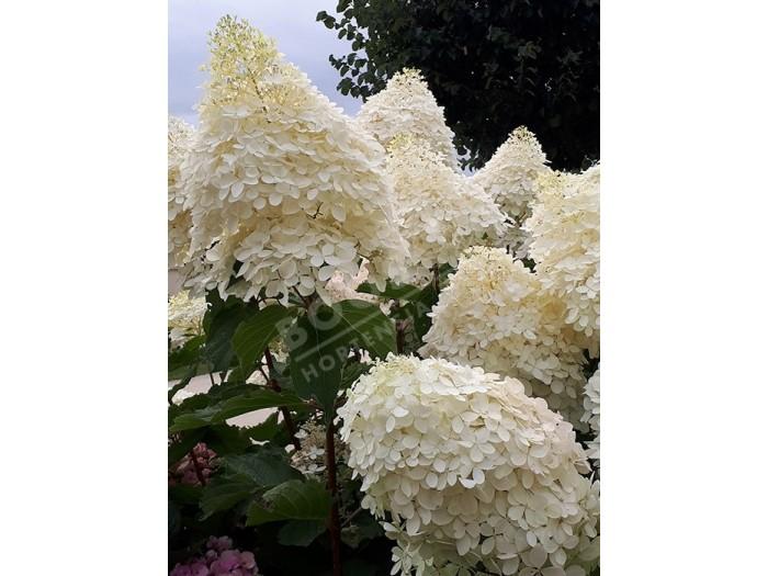 fleurs de hydrangea paniculata phantom