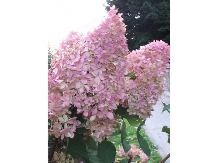 fleurs de hydrangea paniculata phantom coloration automne