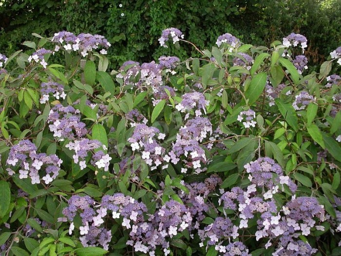 HYDRANGEA aspera 'High Down Form'