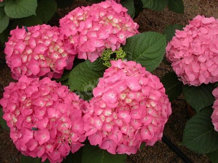 fleurs roses d'Hydrangea macrophylla Freudenstein