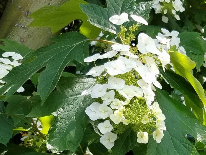 HYDRANGEA quercifolia SNOW WORLD® 'JPD06'