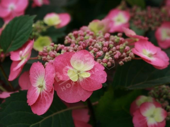 hortensia cotton candy en fleurs