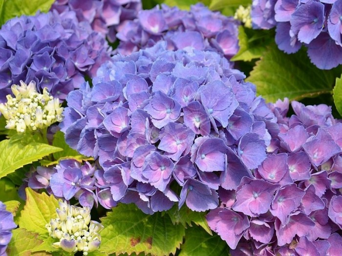HORTENSIA 'Schöne Bautznerin' violet