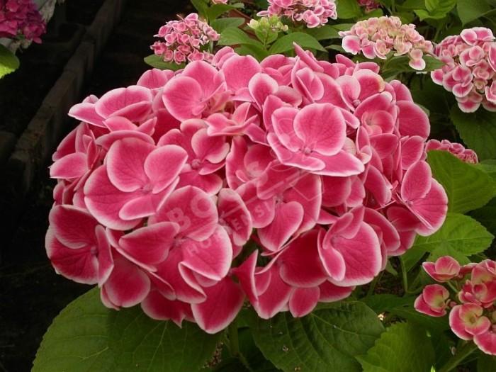 Fleur d'hortensia Harlequin