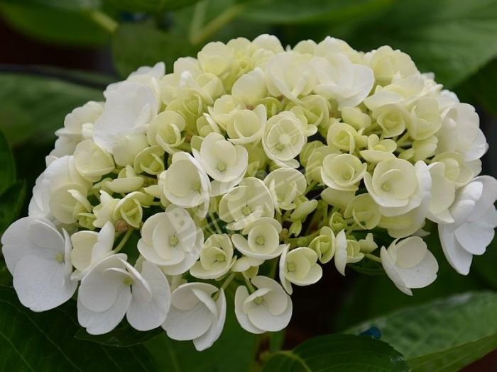 fleurs d'hortensia Holibel