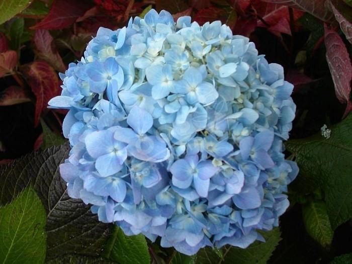 HORTENSIA 'Semperflorens' bleu