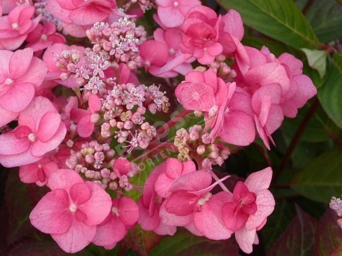 hortensia santiago en fleurs