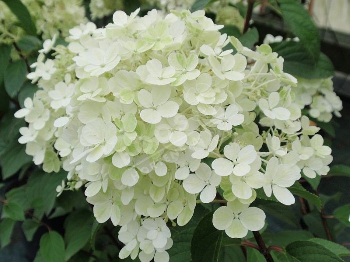 hydrangea paniculata bobo. Black Bedroom Furniture Sets. Home Design Ideas