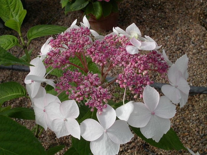 fleurs d'hortensia grayswood