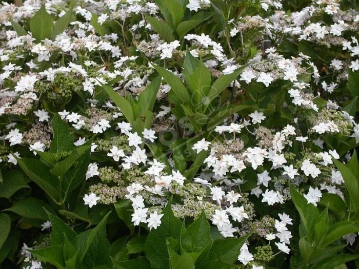 Hortensia hanabi massif en fleurs