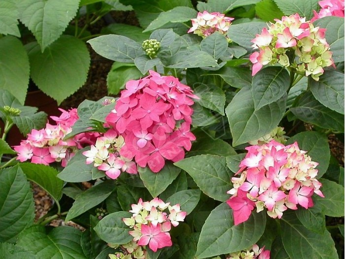 hortensia pia en fleurs au jardin