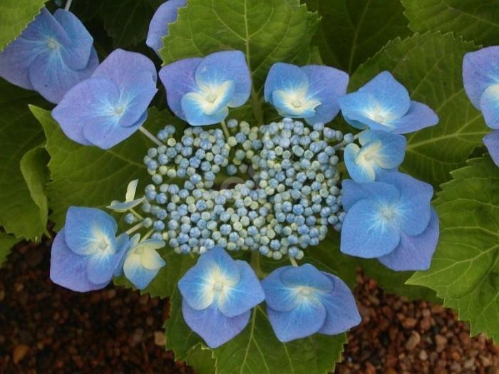 HORTENSIA 'Blaumeise' en bleu