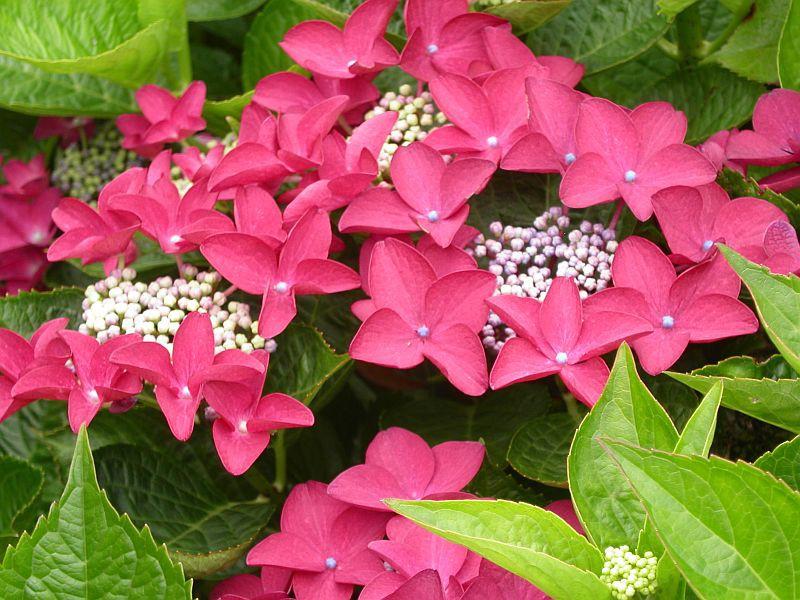 Hortensia A Fleurs Plates Hydrangea Teller Hortensia Hydrangea