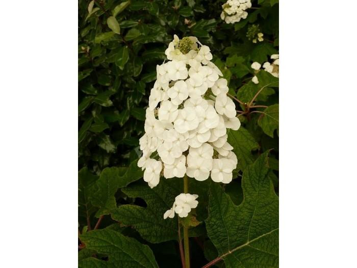 HYDRANGEA quercifolia Snow Queen ®