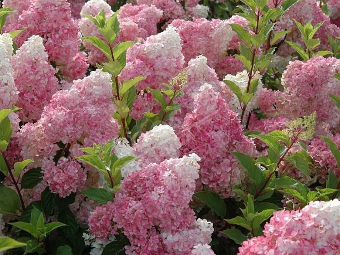 HYDRANGEA paniculata Vanille Fraise ®
