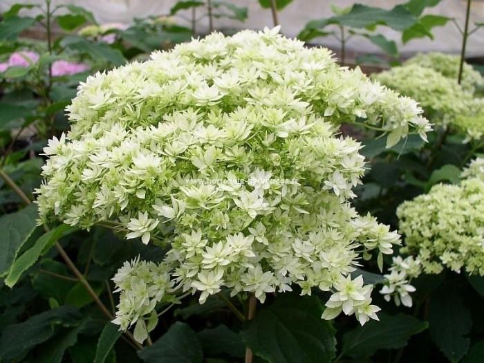 HYDRANGEA arborescens Hovaria ® 'Hayes Starburst'
