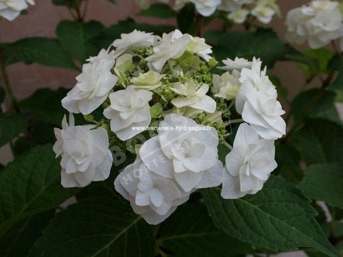Hortensia wedding gown floraison blanc pur, fleurons triples