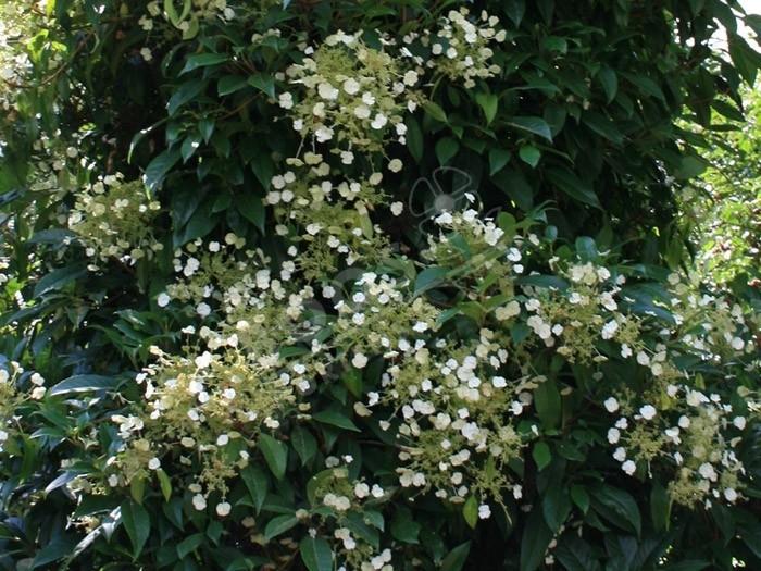 fleurs d'hydrangea seemanii