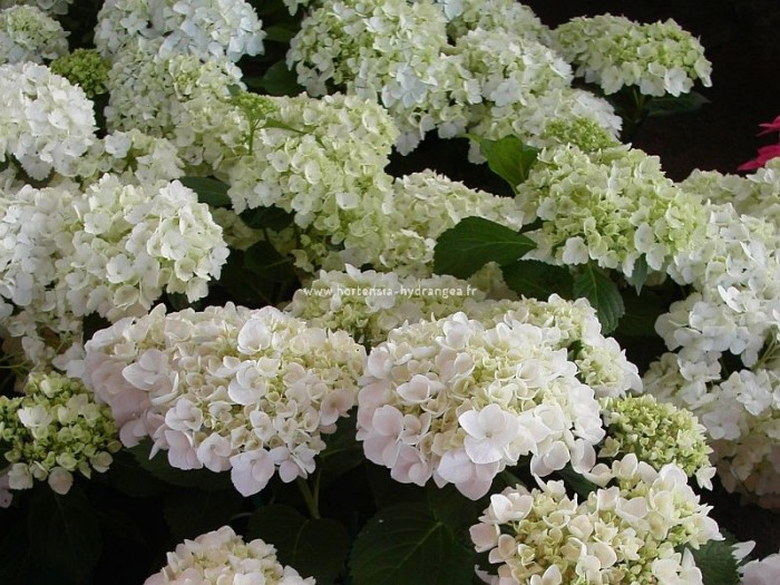 hortensia hydrangea macrohylla madame mouill re. Black Bedroom Furniture Sets. Home Design Ideas