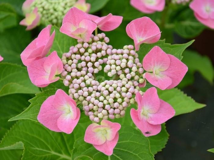 HORTENSIA 'Blaumeise' en rose