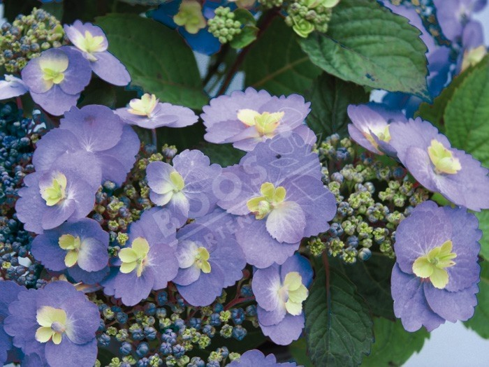 HYDRANGEA serrata Blueberry Cheesecake ®