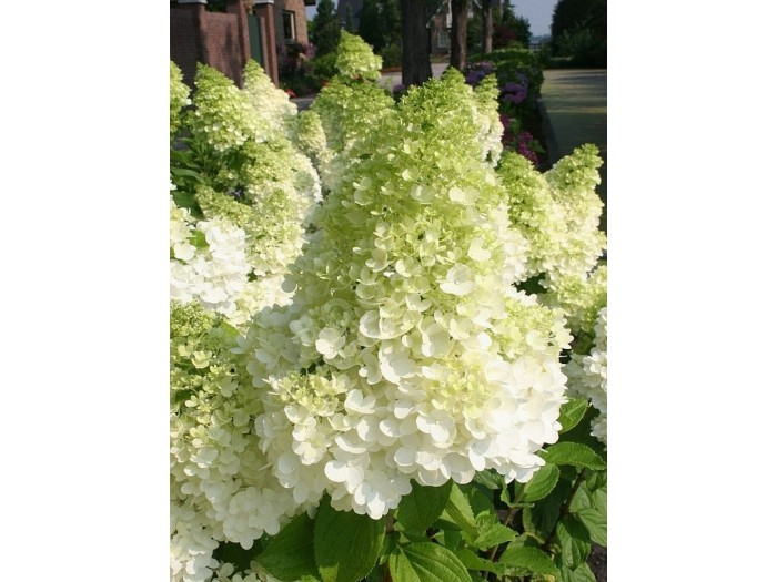 HYDRANGEA paniculata Magical ® Moonlight