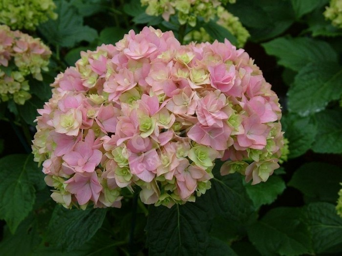 HORTENSIA You&Me® 'Together' fleuron triple