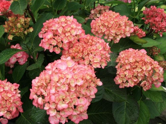 hortensia grafin cosel en fleurs
