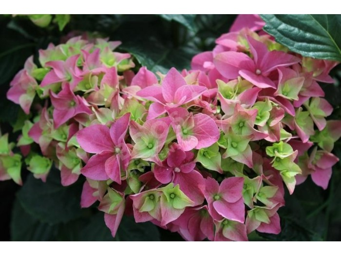 HORTENSIA Early Pink®