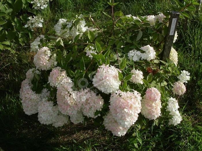 HYDRANGEA paniculata 'Mont Aso'