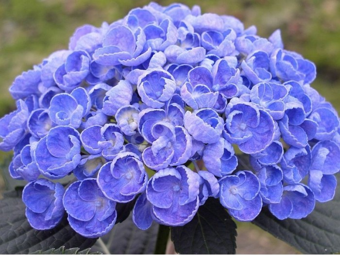 HORTENSIA Hovaria® 'Hopcorn' bleu