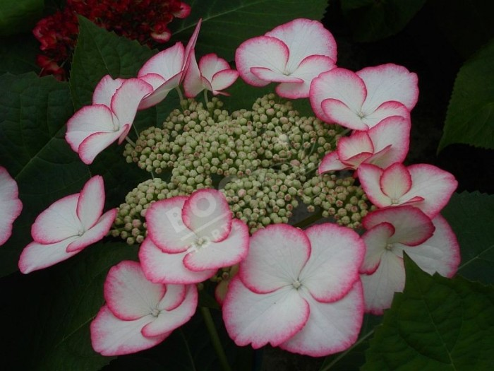 HORTENSIA Hovaria® 'Love You Kiss'