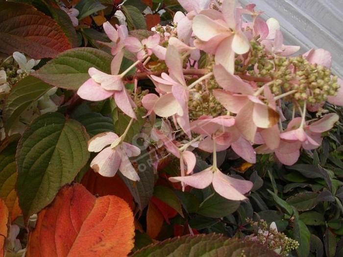 HYDRANGEA paniculata 'Perle d'Automne'